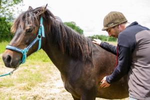Auscultation d'un cheval