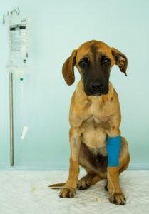 Hospitalisation d'un chien